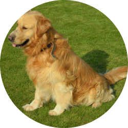 Golden Retriever hondjeshoeve
