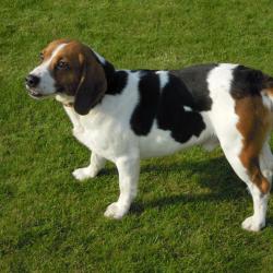 Beagle Hondjeshoeve