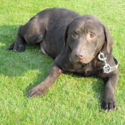 Labrador chocolade, hondjeshoeve