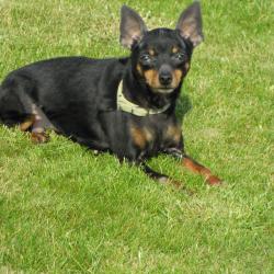Dobermann Pincher hondjeshoeve
