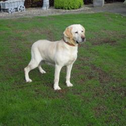 Labrador Blond hondjeshoeve